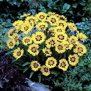 Coreopsis Sunfire