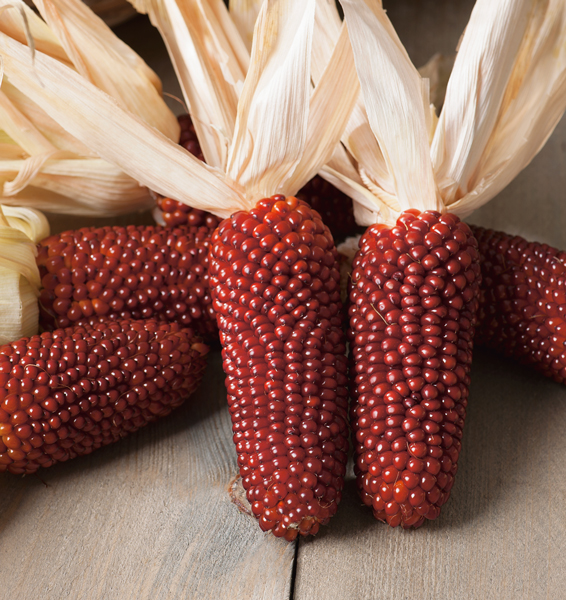 Corn Popcorn Ruby Red