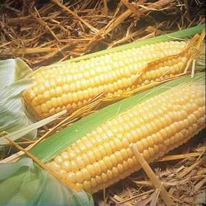 Corn Early Marika F1 Hybrid - 500s Bulk