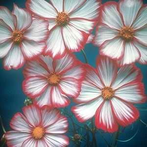 Cosmos Picotee Mixed