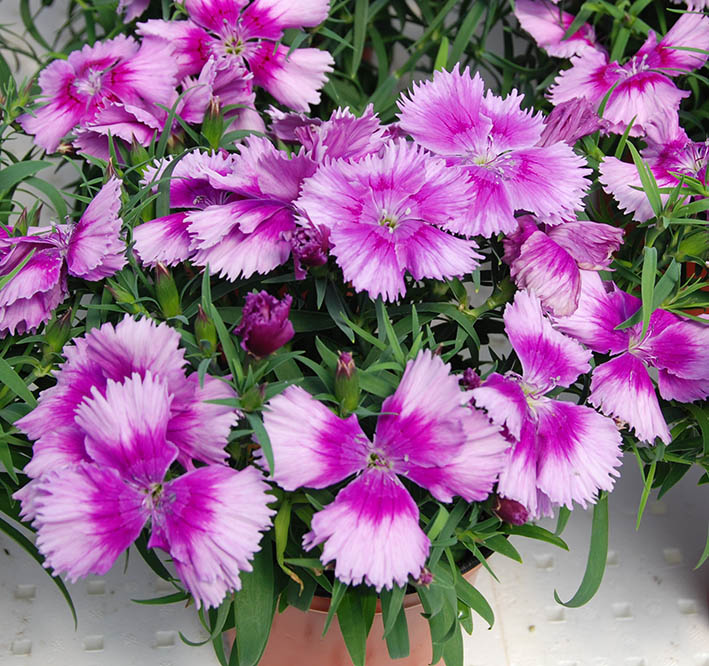 Dianthus Diana Lavender Picotee F1 Hybrid