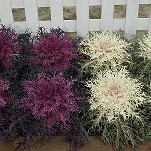 Flowering Kale Peacock Twin Pack (Red & White) F1 Hybrid