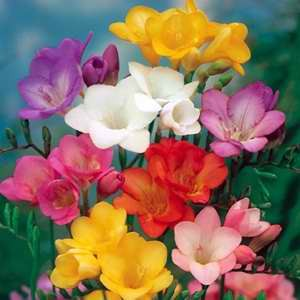 Freesia Fairy Tale Mix