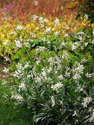 Gaura Sparkle White