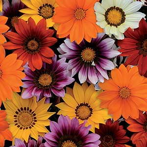 Gazania New Day Mix F1 Hybrid