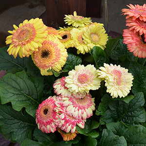 Gerbera Strawberry Twist F1 Hybrid