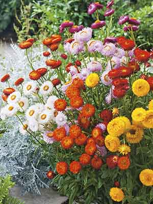 Helichrysum Tom Thumb Mix