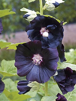 Hollyhock Ebony Towers