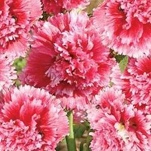 Hollyhock Fiesta Time Cerise