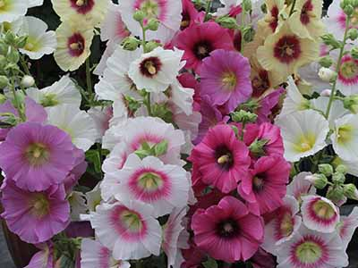 Hollyhock Halo Mix