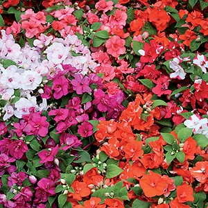 Impatiens Athena Semi Double Mix F1 Hybrid