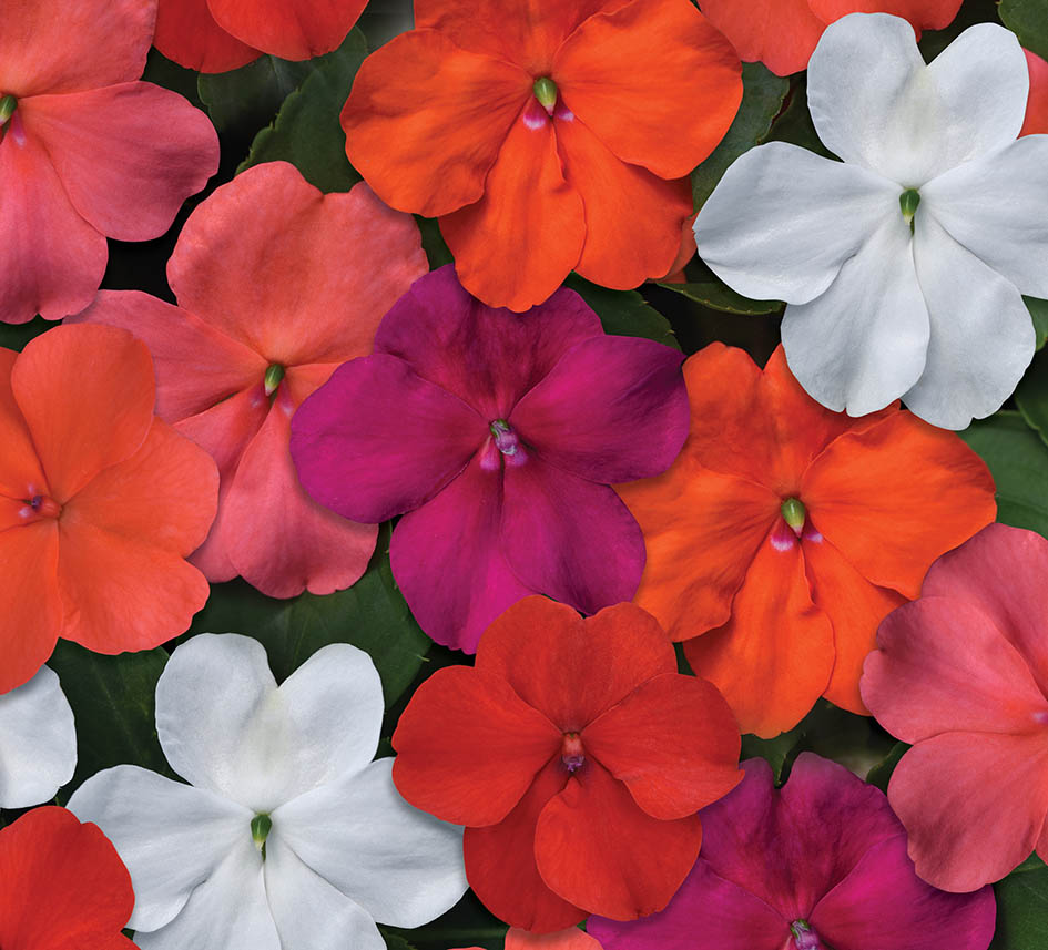 Impatiens Beacon Mixed F1 Hybrid