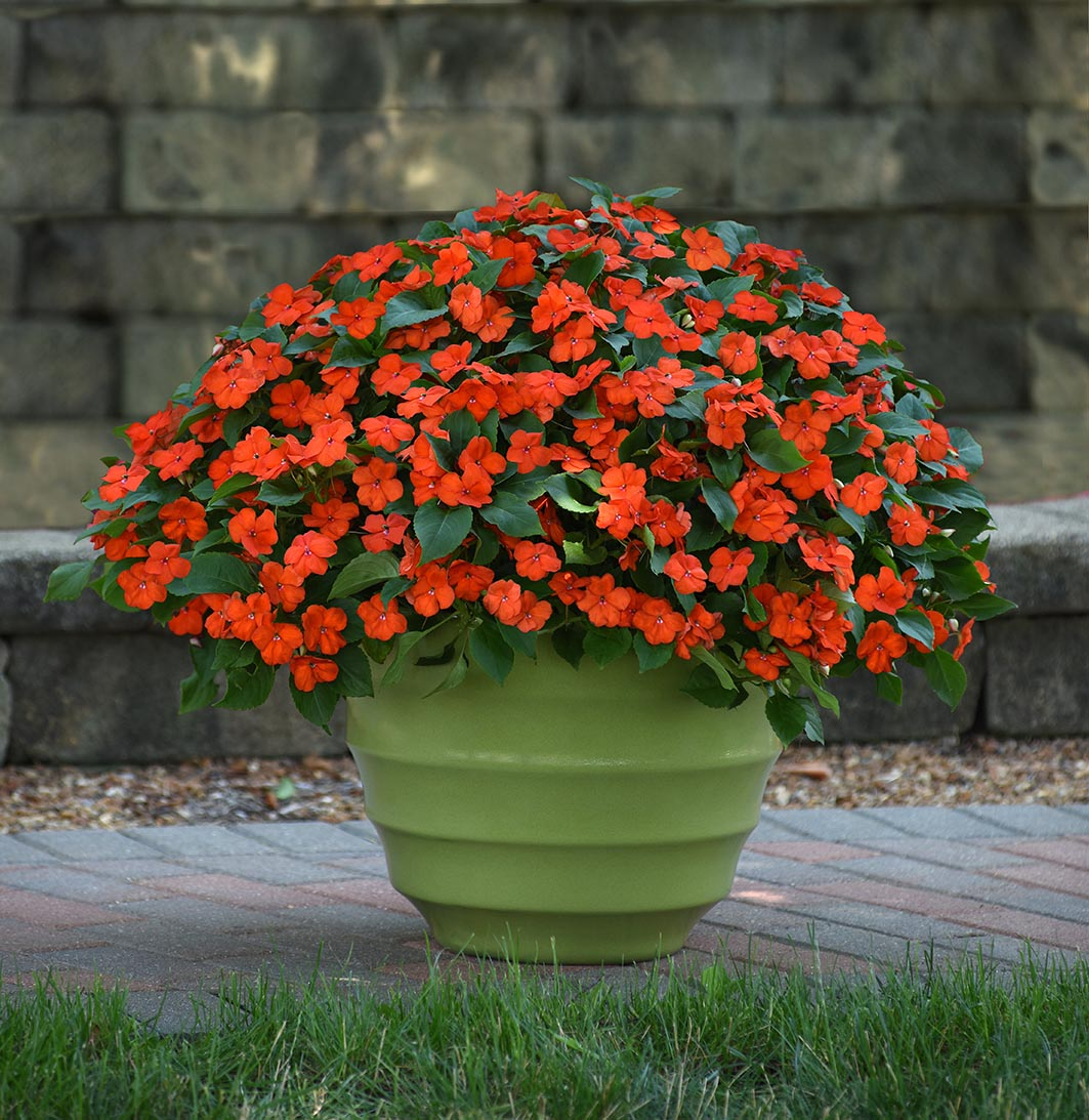 Impatiens Beacon Orange F1 Hybrid