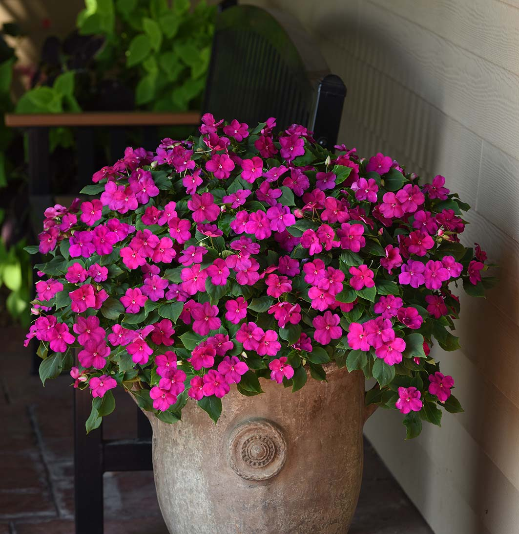 Impatiens Beacon Violet Shades F1 Hybrid