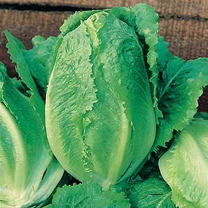 Lettuce Cos Little Gem