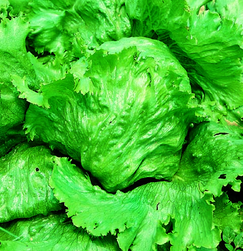 Lettuce Great Lakes (Pelleted Seed)
