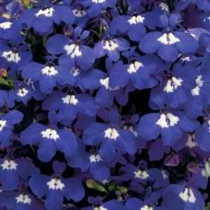 Lobelia Riviera Blue Eyes