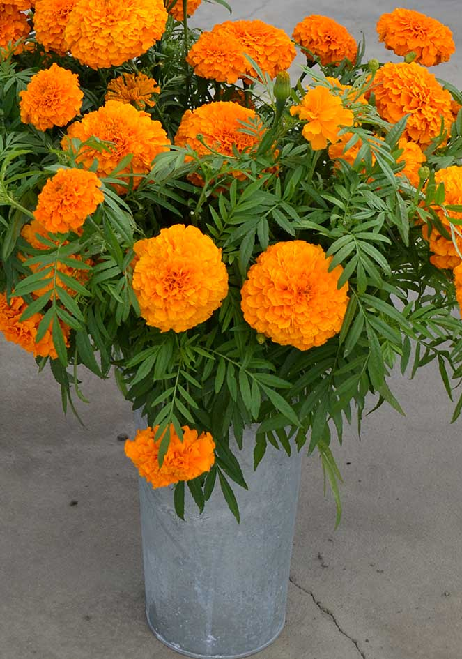 Marigold Coco Deep Orange