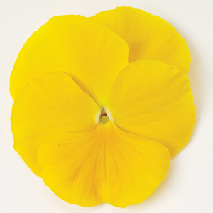 Pansy Matrix Clear Yellow F1 Hybrid