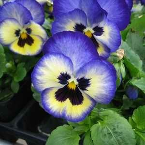 Pansy Blue Flashing F1 Hybrid