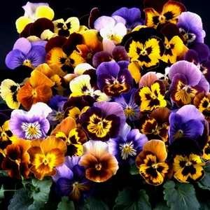 Pansy Desiderio Fireworks F1 Hybrid Mix