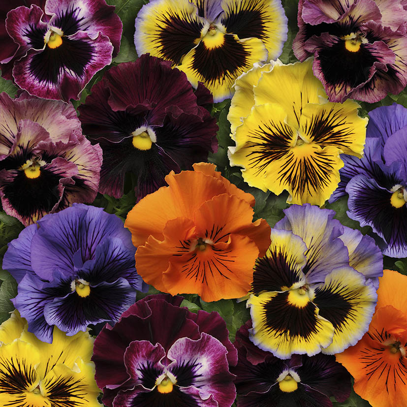 Pansy Frizzle Sizzle Mix F1 Hybrid