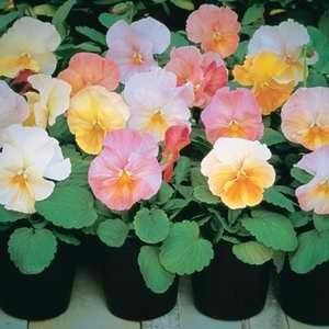 Pansy Imperial Antique Shades F1 Hybrid