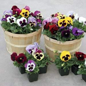 Pansy Majestic Giants II Mix F1 Hybrid