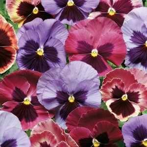 Pansy Matrix Coastal Sunrise Mix F1 Hybrid