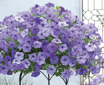 Petunia Evening Scentsation F1 Hybrid