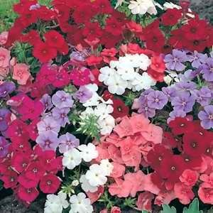 Phlox Dwarf Beauty Mix