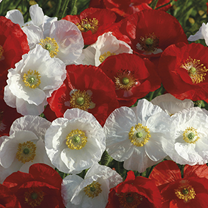 Poppy Cotton Soldiers