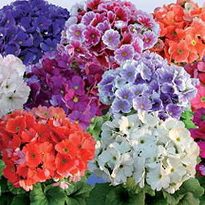 Primula Touch Me Mix F1 Hybrid