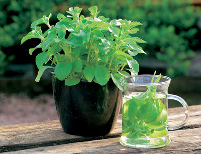 Stevia Rebaudiana Sugar Grass