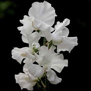 Flowers egmont seed company ltd online seed sales sweet pea hammetts wild swan mightylinksfo
