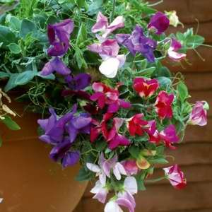 Sweet Pea Hammett's Dwarf Cupid Mix