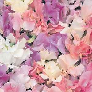 Sweet Pea Pastel Sunset Mix
