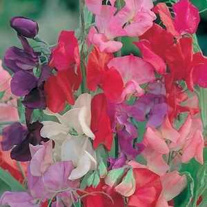 Sweet Pea Royal Mix