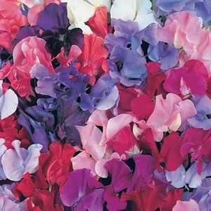 Sweet Pea Unwins Master Mix