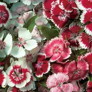 Sweet William (Dianthus) Wee Willie