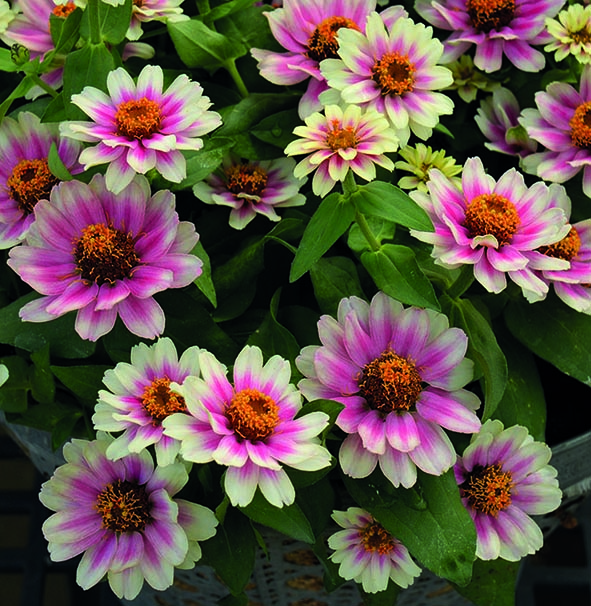 Zinnia Profusion Cherry Bicolour